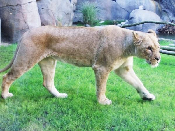 Mrs. Lion-Simba's mom?