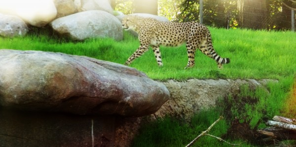 Mr/Mrs Cheetah